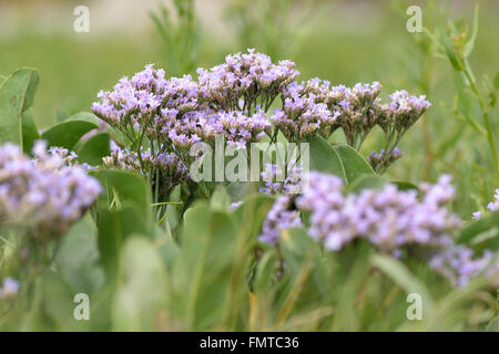 Common sea-lavender (Limonium vulgare). Flowers of plant in family Pumbaginaceae, flowering on inter-tidal mudflats - Stock Photo