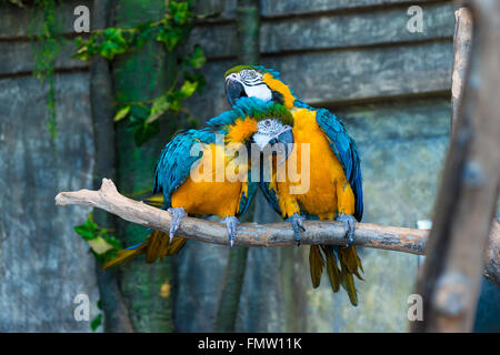 a pair of beautiful yellow macaw parrots on branch