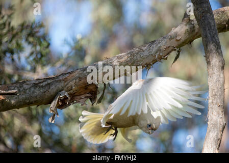 A Little Corella flies down to a bird feeder in a garden. It is a common sight  in Queensland, Australia - Stock Photo
