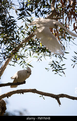 A Little Corella is a common sight  in Queensland, Australia - Stock Photo