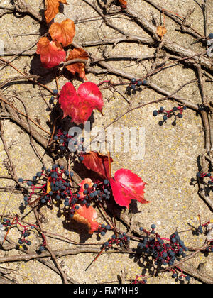 Common grape vine growing on a house wall in Frankonia - Stock Photo