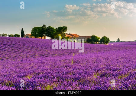 Gentle sunrise over the endless lavender fields and farm in Provence, France - Stock Photo