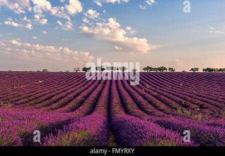 Gentle pink sunrise over the endless lavender fields in Provence, France - Stock Photo