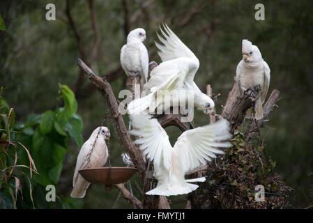 A flock of Little Corellas decent on a residential garden for a feed. They are  a common sight  in Queensland, Australia - Stock Photo