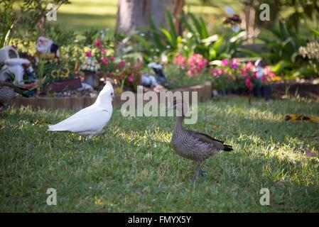 Walking in opposite directions is a white Little Corella passing an Australian female wood duck in a garden in Queensland,Austra - Stock Photo