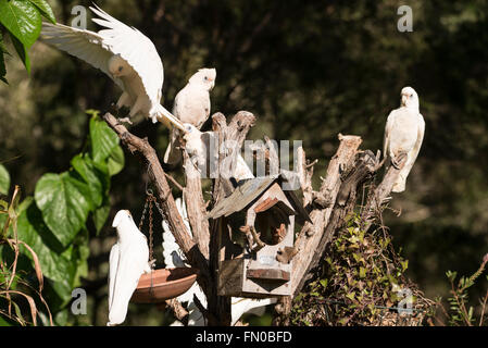 A flock of  Little Corellas,  a common sight  in Queensland, Australia  on the Sunshine Coast  in Queensland, Australia - Stock Photo