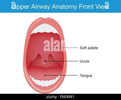 Anatomy of Upper Airway Stock Photo: 7711798 - Alamy