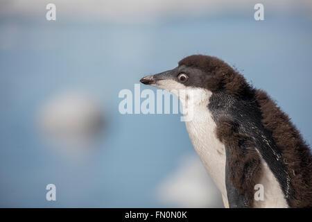 Antarctica, Antarctic peninsula, Brown Bluff. Adelie penguin, chicknature - Stock Photo