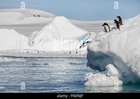 Antarctica, Antarctic peninsula, Brown Bluff. Adelie penguin, penguins diving off iceberg - Stock Photo