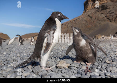 Antarctica, Antarctic peninsula, Brown Bluff. Adelie penguin, adult and chick - Stock Photo