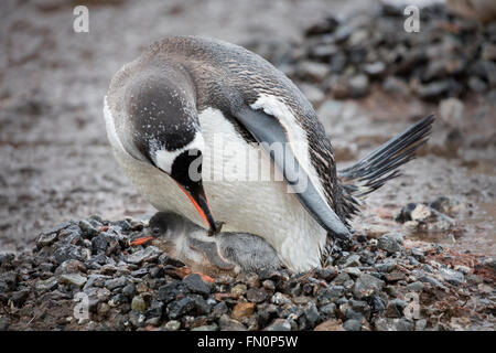 Antarctica, Antarctic peninsula, Port Lockroy, gentoo penguin, adult with chick on nest - Stock Photo