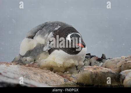 Antarctica, Antarctic peninsula, Booth Island, gentoo penguin lying on nest, covered in ice - Stock Photo