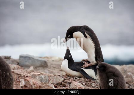 Antarctica, Antarctic peninsula, Petermann Island, Adelie penguin, Mating pair - Stock Photo