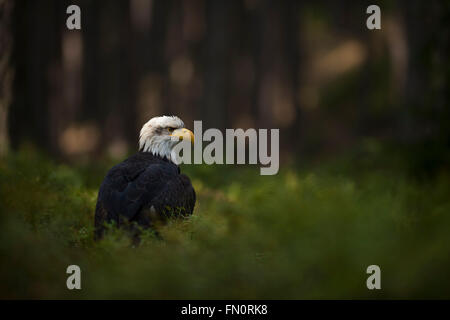 Bald Eagle ( Haliaeetus leucocephalus ), watches attentively, sits in spotlight in the undergrowth of dark woods. - Stock Photo