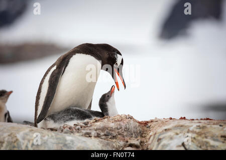 Antarctica, Antarctic peninsula, Petermann Island, Gentoo penguin,  gentoo penguin with chick - Stock Photo