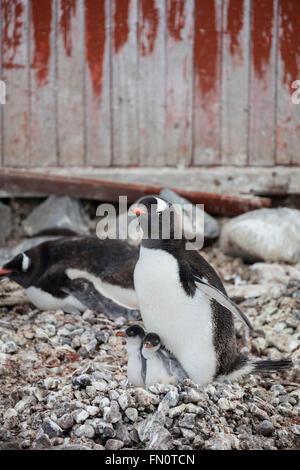 Antarctica, Antarctic peninsula, Petermann Island, Gentoo penguin, gentoo penguin with chicks. - Stock Photo