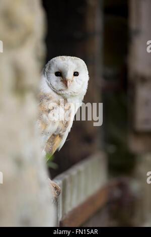 Barn Owl; Tyto alba Single Portrait Wales; UK - Stock Photo