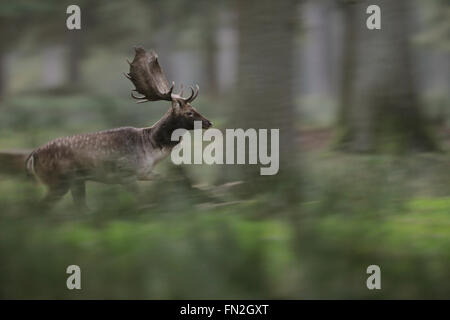 Fallow Deer / Damhirsch ( Dama dama ) on the run through a natural open forest, fleeing animal, in motion, panning - Stock Photo
