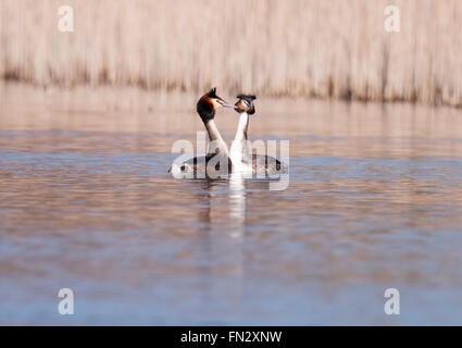 Pair of Great Crested Grebes Podiceps cristatus in courtship display - Stock Photo