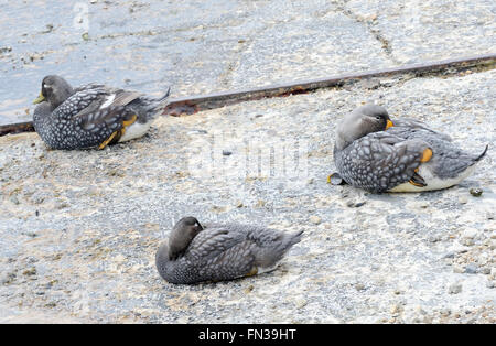 Falkland Steamer Ducks or Loggers (Tachyeres brachypterus) on a slipway in the harbour at Stanley.  Stanley, Falkland - Stock Photo