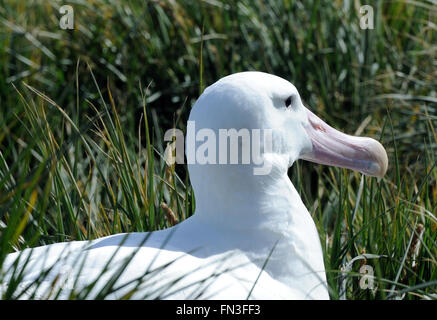 A Wandering Albatross (Diomedea exulans) on its nest. Prion Island, South Georgia. - Stock Photo
