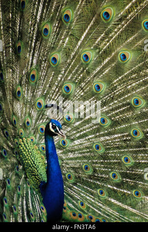 Common Peafowl, Indian Peacock (Pavo cristatus), male displaying patterned feathers - Stock Photo