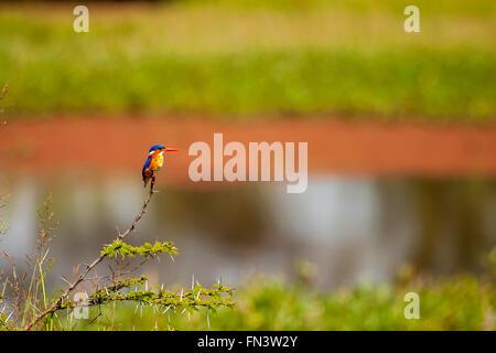 Perched Kingfisher in Masai Mara Kenya - Stock Photo