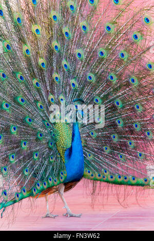 Proud Peacock - Stock Photo