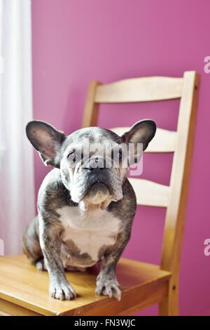 A cute old french bulldog sitting on a chair in a pink room. - Stock Photo