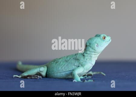 A close up of a basilisk lizard. - Stock Photo