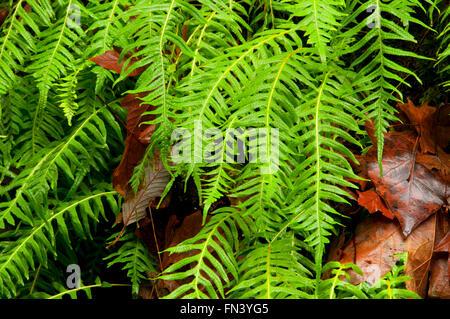 Licorice fern (Polypodium glycyrrhiza), Magness Memorial Tree Farm, Oregon - Stock Photo
