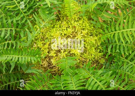 Licorice ferns (Polypodium glycyrrhiza) with club moss, Magness Memorial Tree Farm, Oregon - Stock Photo