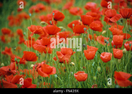 A field of  vibrant Red Wild poppies in bloom in Galway Ireland - Stock Photo