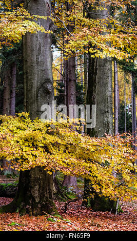 Beech trees in autumn forest - Stock Photo