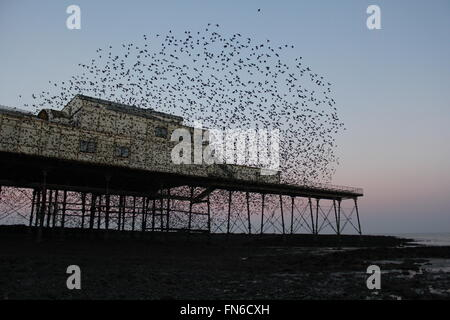 Aberystwyth, Wales, UK. 14th March, 2016. UK  Weather:Sunrise when ten's of thousands of starlings ' sturnus vulgaris - Stock Photo