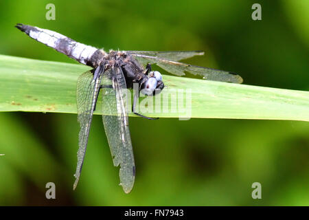 Scarce chaser (Libellula fulva). Rare worn male dragonfly in the family Libellulidae, at rest on grass at Woodwalton - Stock Photo