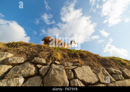 One single llama on Machu Picchu terraces, Peru. Wide angle view from below in afternoon sunlight and blue sky with - Stock Photo