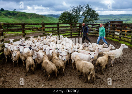 Two Sheep Farmers Herding Sheep, Sheep Farm, Pukekohe, New Zealand - Stock Photo