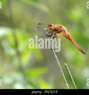 Scarce chaser (Libellula fulva). Rare female dragonfly in the family Libellulidae, perched on reed in profile - Stock Photo