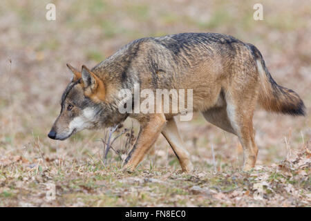 Italian Wolf (Canis lupus italicus), captive animal walking, Civitella Alfedena, Abruzzo, Italy - Stock Photo