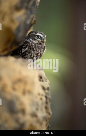 Little Owl / Minervas Owl / Steinkauz ( Athene noctua ), perched in a wall of rocks, sunbathing in natural habitat, - Stock Photo
