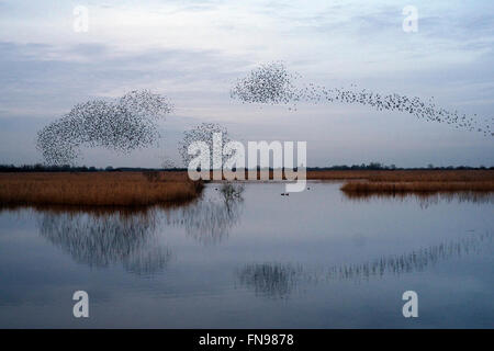 A murmuration of starlings, a spectacular aerobatic display of a large number of birds in flight at dusk over the - Stock Photo