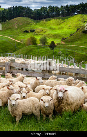Sheep In A Pen Waiting To Be Counted and Weighed, Sheep Farm, Pukekohe, North Island, New Zealand - Stock Photo