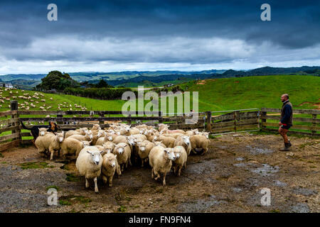 Sheep In A Pen Waiting To Be Sheared, Sheep Farm, Pukekohe, New Zealand - Stock Photo