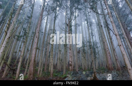 Mist in the Japanese cedar forest, Jigokudani Monkey Park, Nagano, Japan - Stock Photo