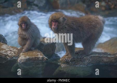 Japanese macaques by Yokoyu river, Jigokudani Monkey Park, Nagano, Japan - Stock Photo