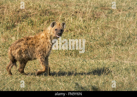 Spotted Hyena, Crocuta crocuta, with mouth open, appearing to smile, walking in the Masai Mara National Reserve, - Stock Photo