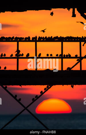 Aberystwyth, Wales, UK. 14th March 2016.   UK weather:  As the sun sets over the Irish Sea,  flocks of thousands - Stock Photo
