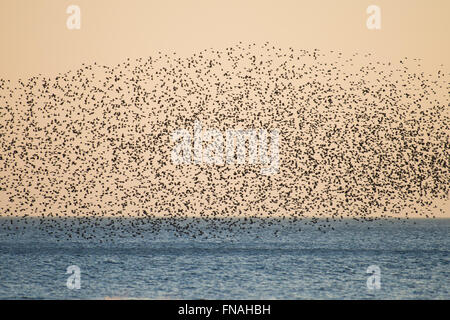 Aberystwyth, Wales, UK. 14th March 2016.   UK weather:  As the sun sets, flocks of thousands of tiny starlings fly - Stock Photo