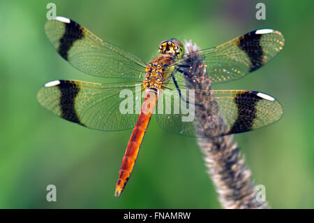 Banded darter (Sympetrum pedemontanum) male dragonfly - Stock Photo